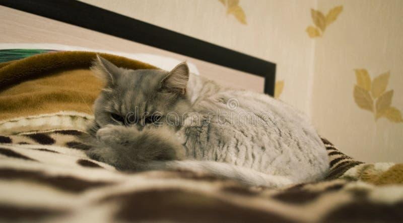Le chat gris se situe dans un lit images stock