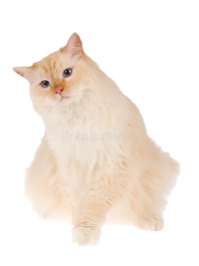 le chat a isolé le blanc de ragdoll photos stock