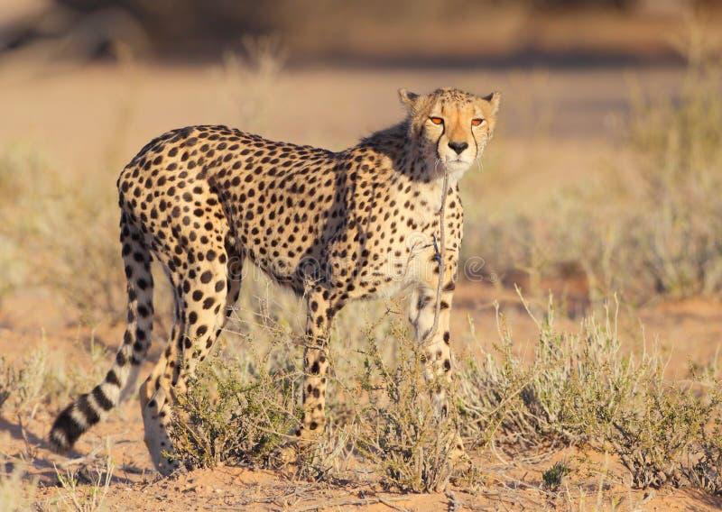 Le chat le plus rapide de guépard sur terre photo libre de droits
