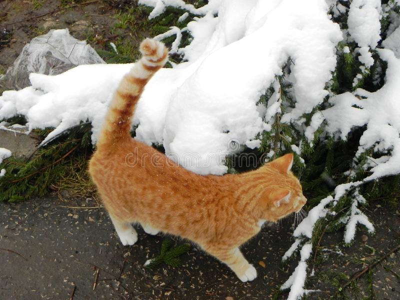 Le chat marche dehors pendant l'hiver Belle nature d'hiver et chat rouge D?tails et plan rapproch? image stock