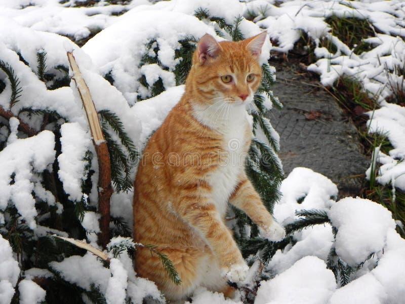 Le chat marche dehors pendant l'hiver Belle nature d'hiver et chat rouge D?tails et plan rapproch? photos libres de droits