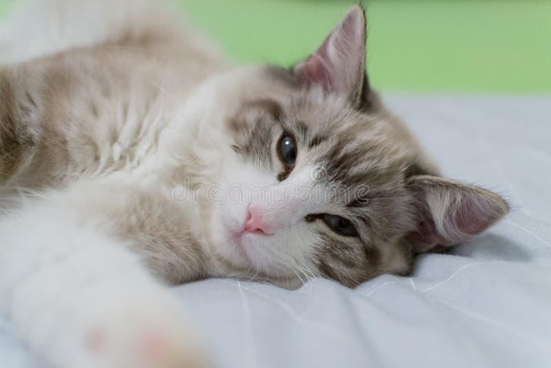 Le chat mignon de Ragdoll d'animal familier devait se réveiller photo stock