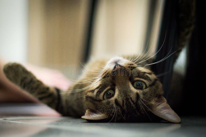 Le chat mignon a fixé le plancher d'o photographie stock libre de droits