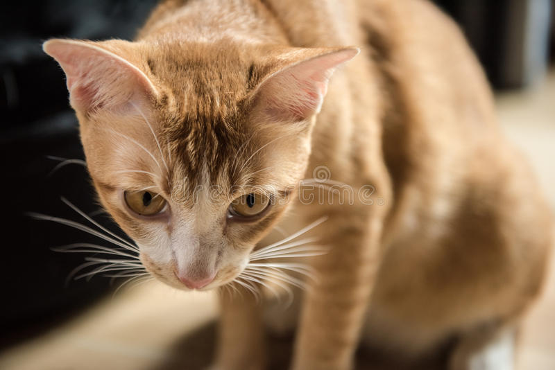 Le chat mignon orange image libre de droits
