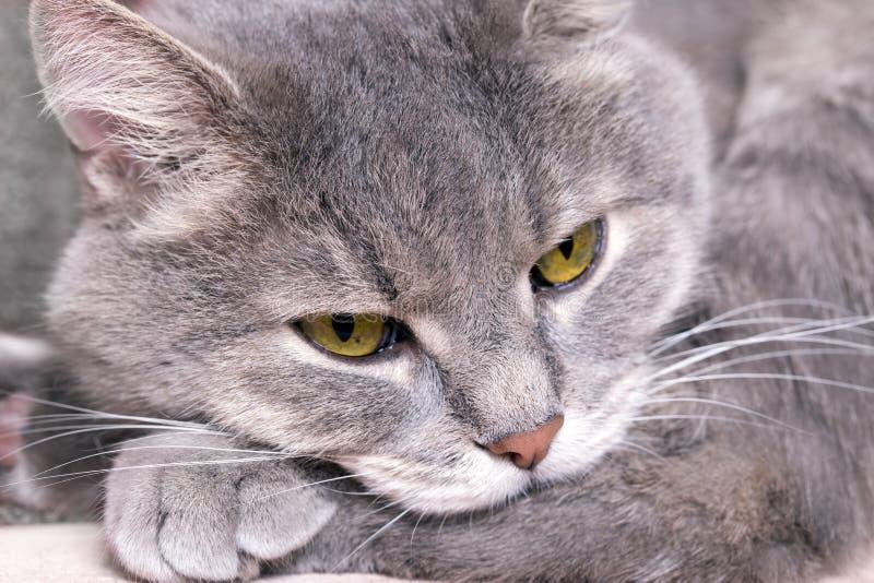 Le chat a mis la tête sur des pattes et somnole photo libre de droits