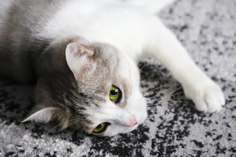Le chat multicolore se trouve sur un tapis gris photographie stock