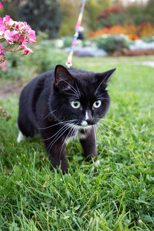Le chat noir et blanc d'animal familier marche avec le harnais en parc d'automne photographie stock