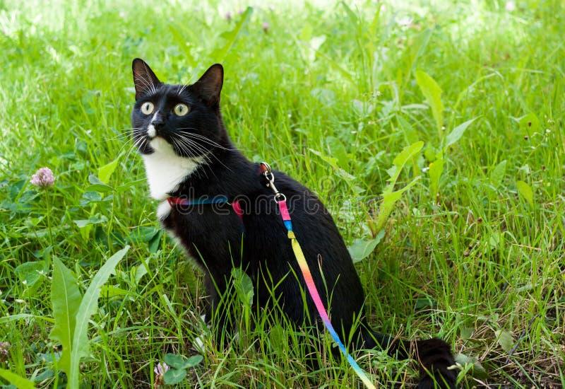 Le chat noir et blanc, marchant sur le harnais, se repose sur le pré vert et soigneusement regarde vers le haut image stock