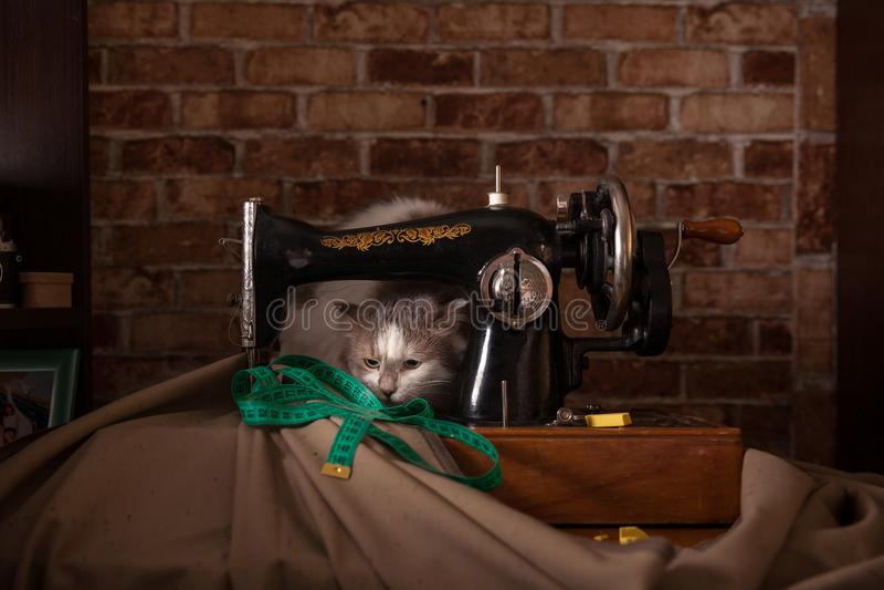 Le chat pelucheux écoute et vole la bande de mesure verte Vieille machine à coudre photographie stock libre de droits