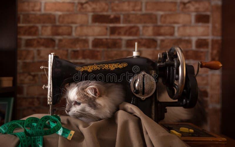 Le chat pelucheux écoute et vole la bande de mesure verte Vieille machine à coudre photographie stock