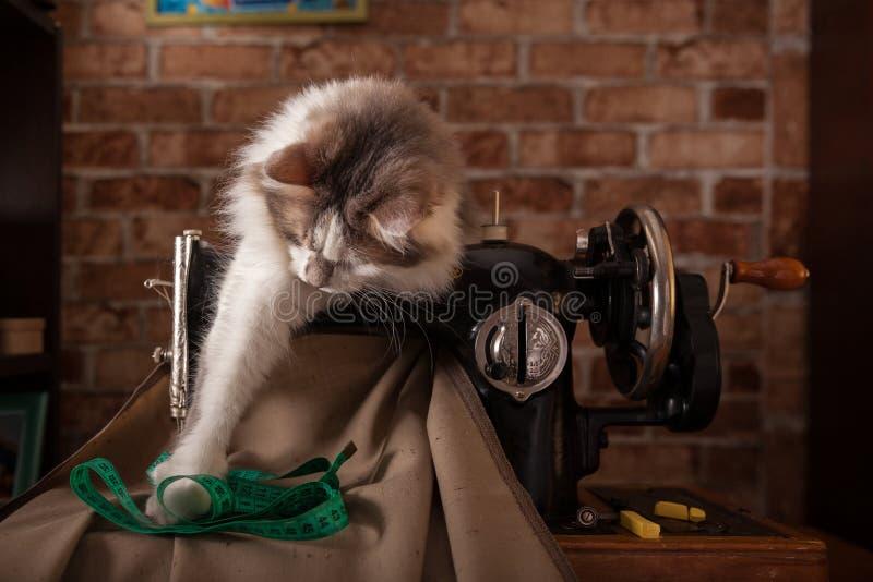 Le chat pelucheux écoute et vole la bande de mesure verte Vieille machine à coudre images stock