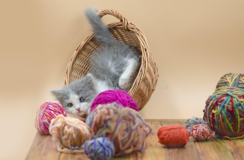 Le chat pelucheux mignon joue avec la boule du tricotage Chaton et boule mignons de fil Chat avec des boules des fils dans un pan photographie stock libre de droits