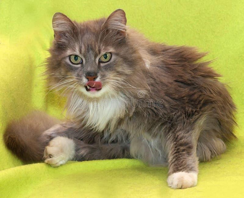 Le chat pelucheux sale agressif lèche ses lèvres photos stock