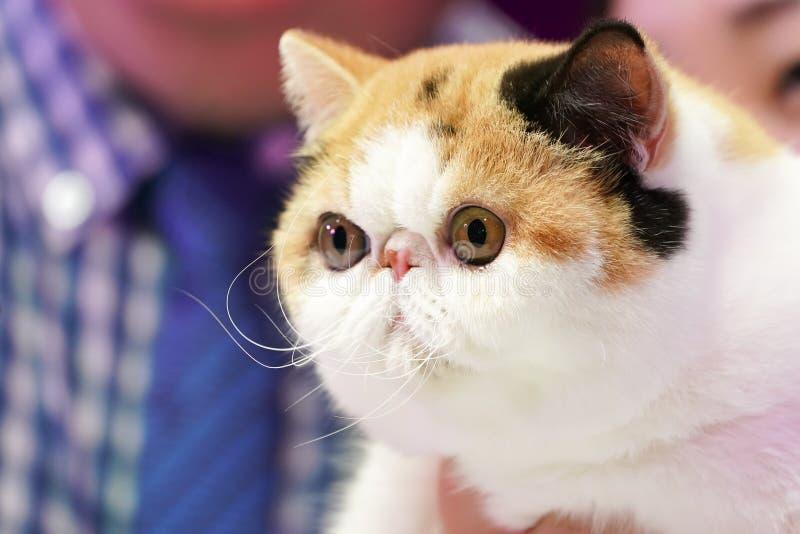 Le chat persan de grand nez assez court de yeux avec l'orange blanche noire de 3 couleurs photo libre de droits