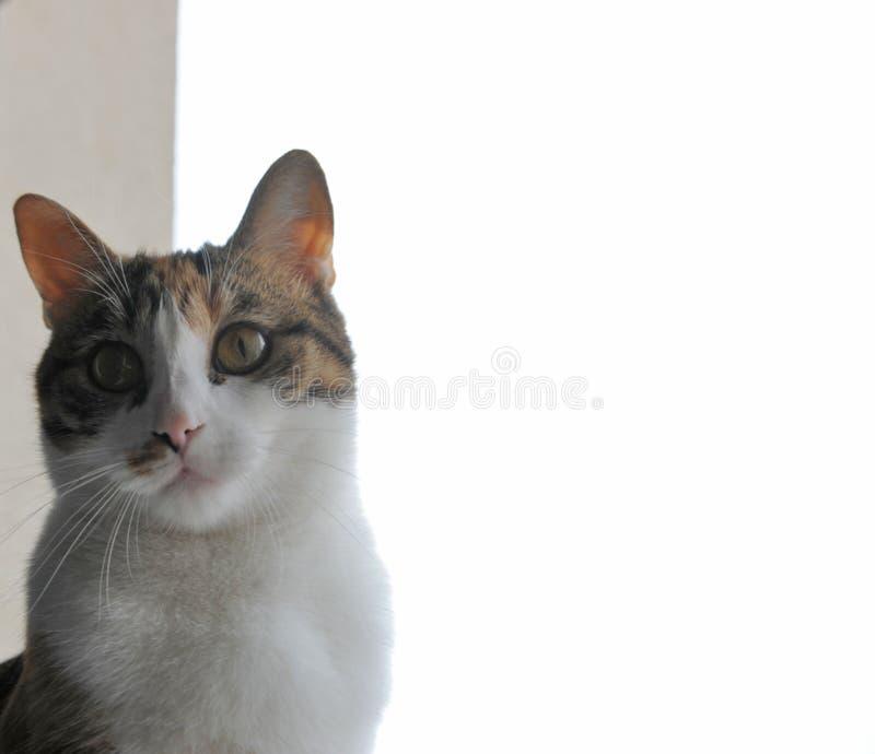 Le chat pose avec le fond blanc derrière elle photographie stock