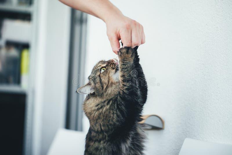 Le chat prend une pilule images libres de droits