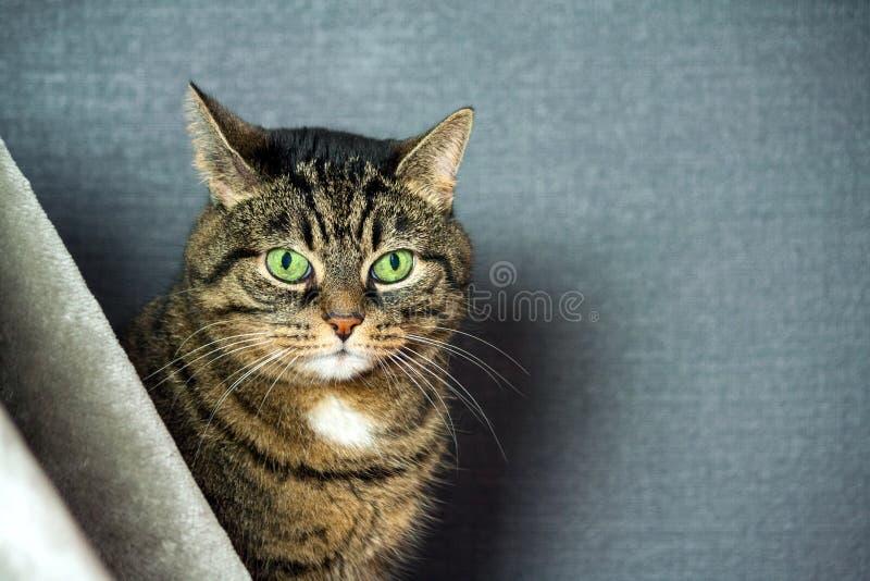 Le chat rayé métis, grosses joues, portrait en gros plan, se repose derrière un voile gris images libres de droits