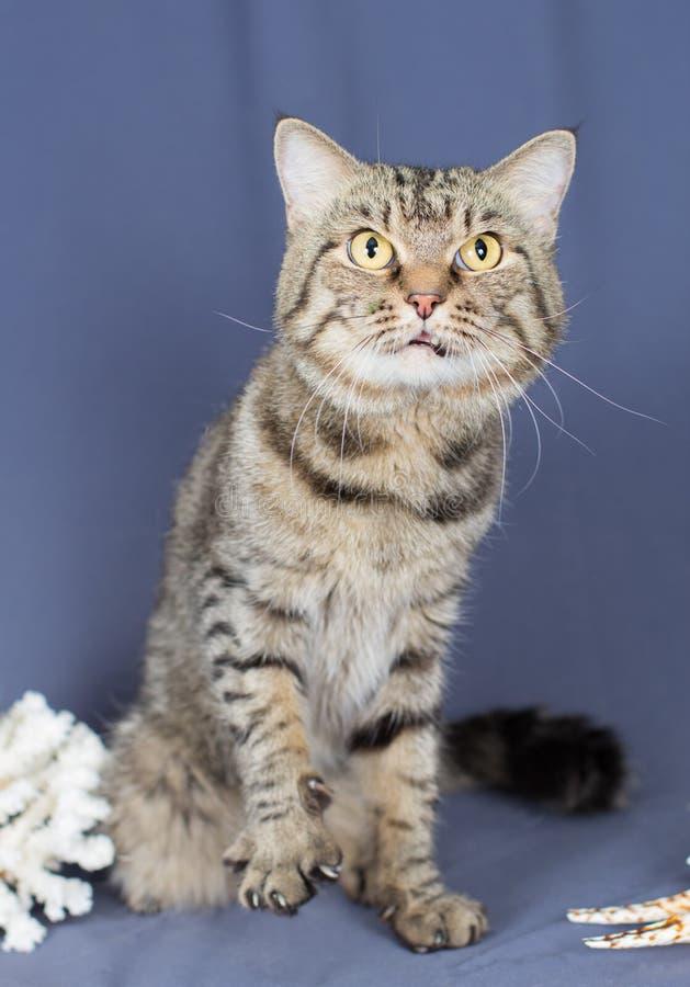 Le chat rayé sévère grimace et veut frapper photo libre de droits