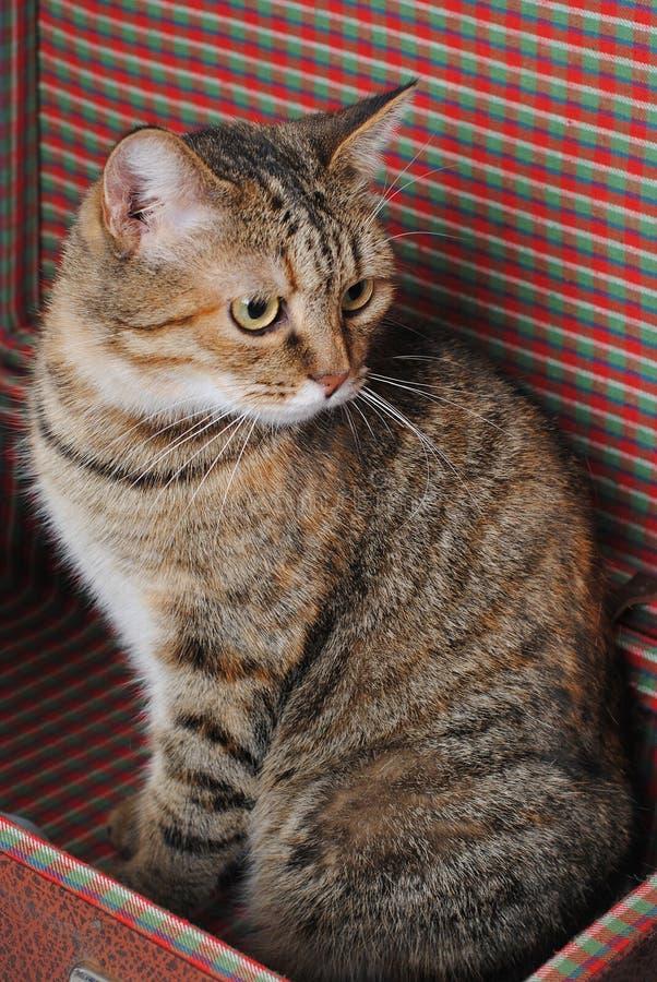 Le chat rayé se repose dans une rétro valise Verticale proche photo stock