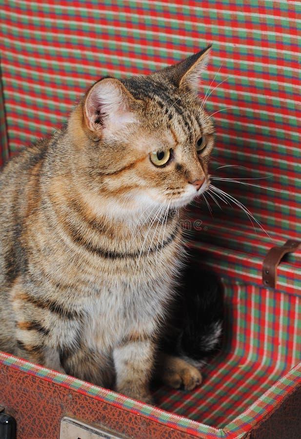 Le chat rayé se repose dans une rétro valise Verticale proche images libres de droits
