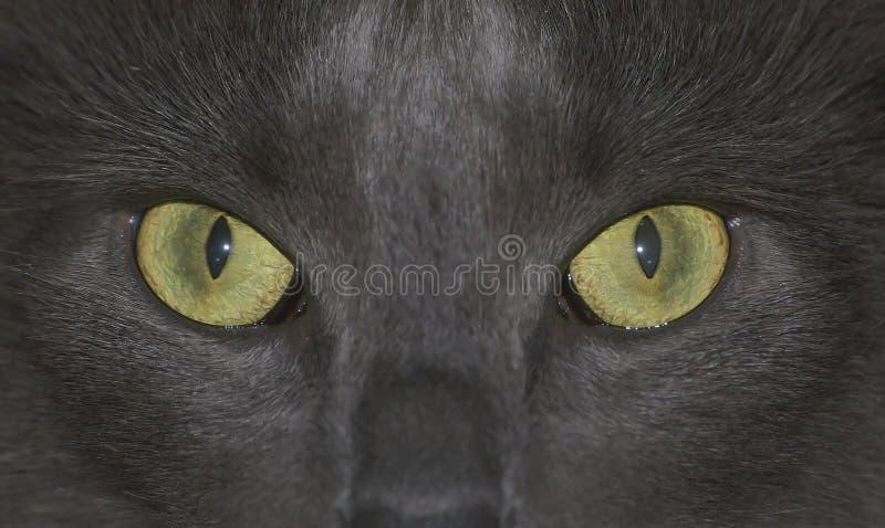 Le chat regarde fixement vous ! photo libre de droits