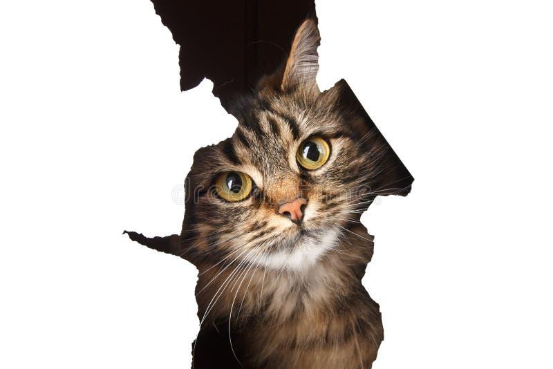 Le chat regarde hors d'un trou de papier, d'isolement sur b blanc images stock