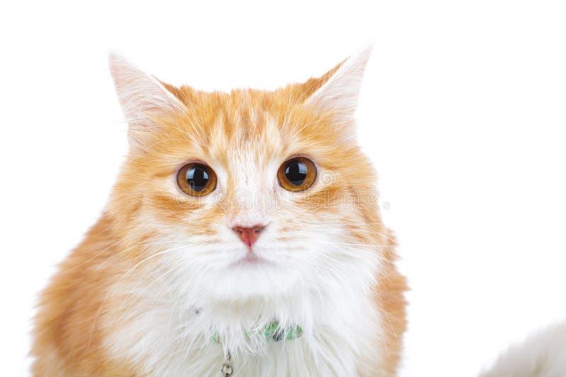 Le chat rouge choqué regarde l'appareil-photo photographie stock