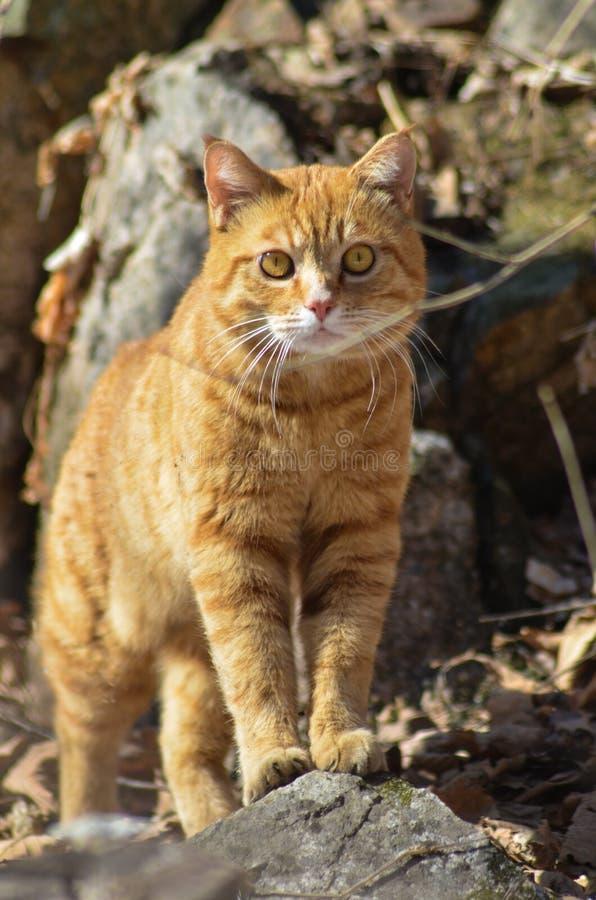 Le chat rouge dans le sauvage est un grand chasseur et un ami un grand beau fort photographie stock