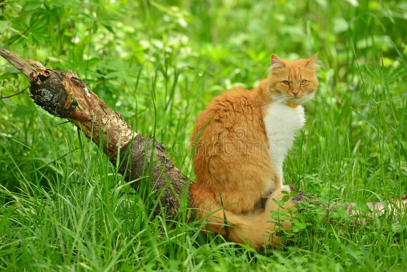 Le chat rouge dans le sauvage photographie stock
