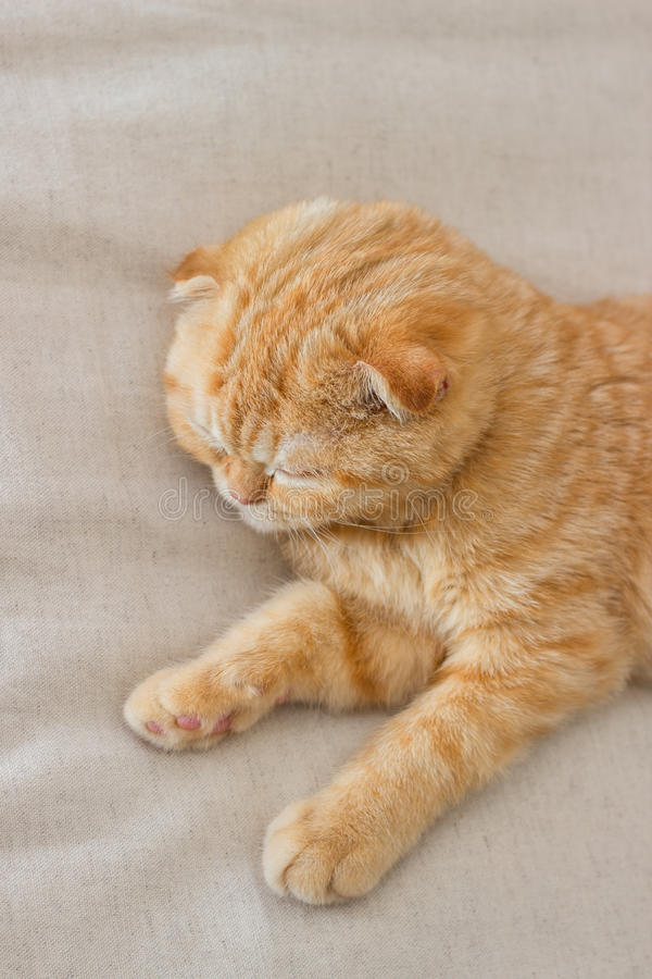 Le chat rouge de scottishfold dort paisiblement images libres de droits