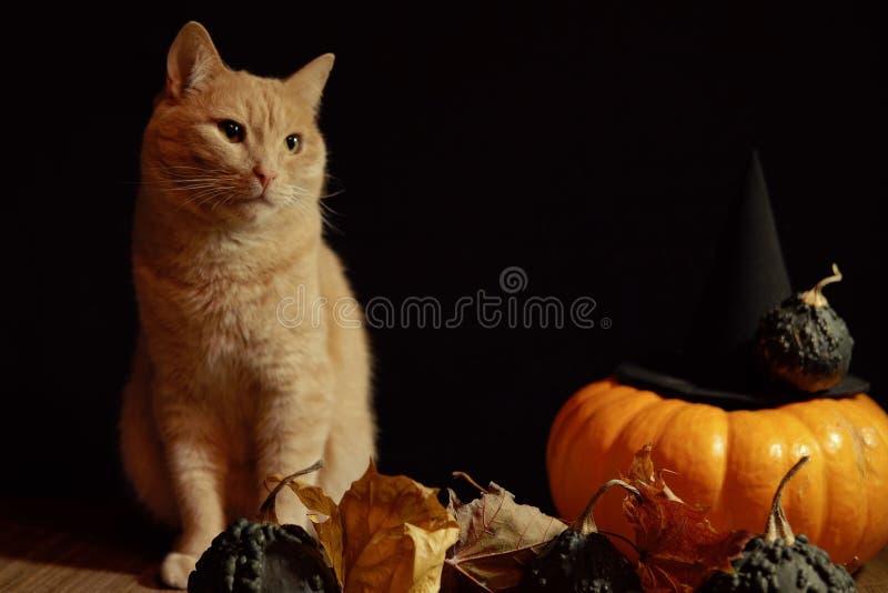 Le chat rouge p?le se repose ? c?t? du potiron orange sur le fond noir photos stock