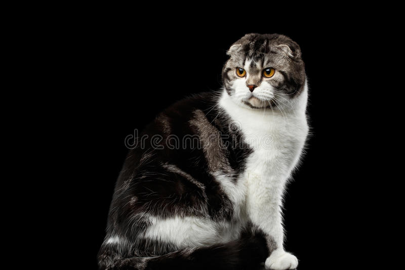 Le chat sérieux de l'écossais plient la race sur le fond noir d'isolement images stock