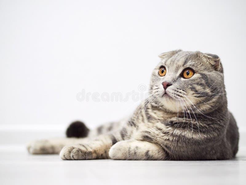 Le chat sérieux drôle de pli d'écossais avec les yeux jaunes lumineux se trouve sur le plancher photos stock