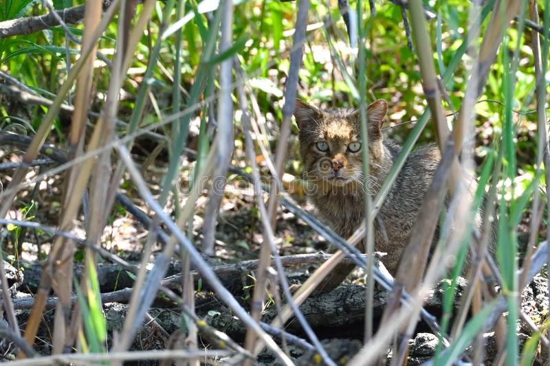 Le chat sauvage camouflated en Reed dans le delta de Danube image stock
