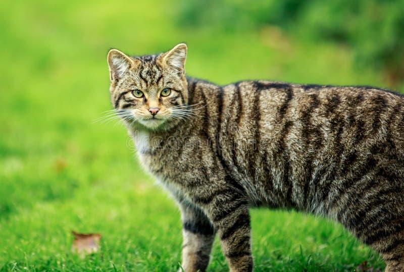 Le chat sauvage ou le tigre écossais de montagnes photos libres de droits