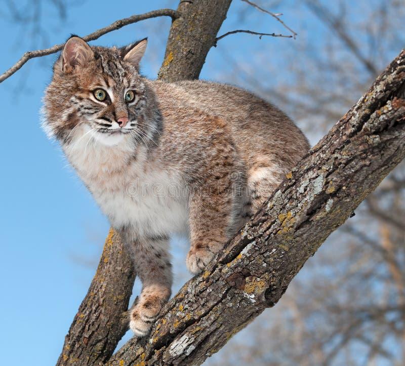 Le chat sauvage (rufus de Lynx) regarde de la branche d arbre