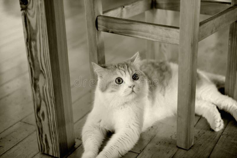 Le chat se reposent sous la chaise images libres de droits