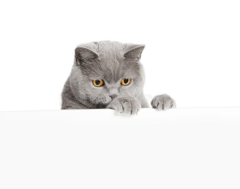 Le chat semble le fond blanc photographie stock libre de droits