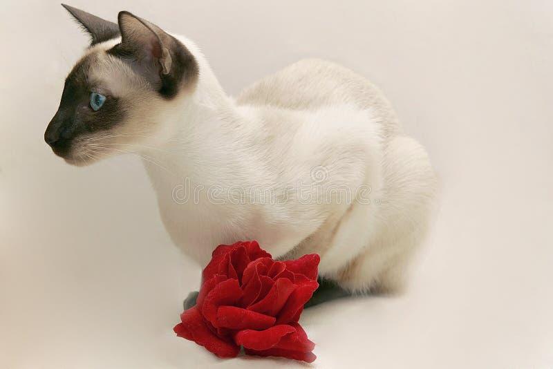 Le chat siamois avec s'est levé photo stock