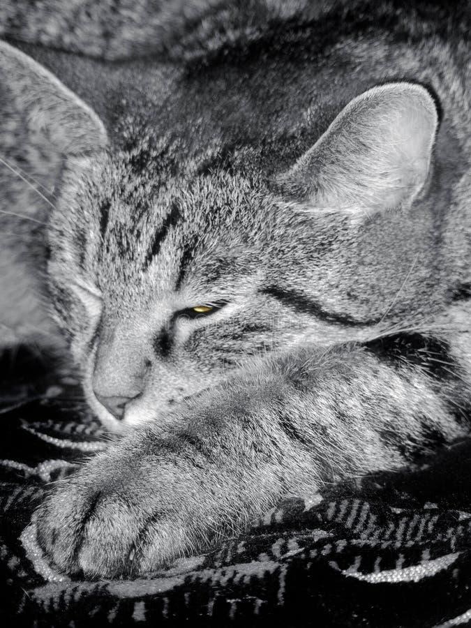 Le chat somnole photo libre de droits