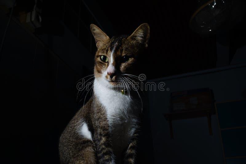 Le chat thaï flop et regardant photo libre de droits