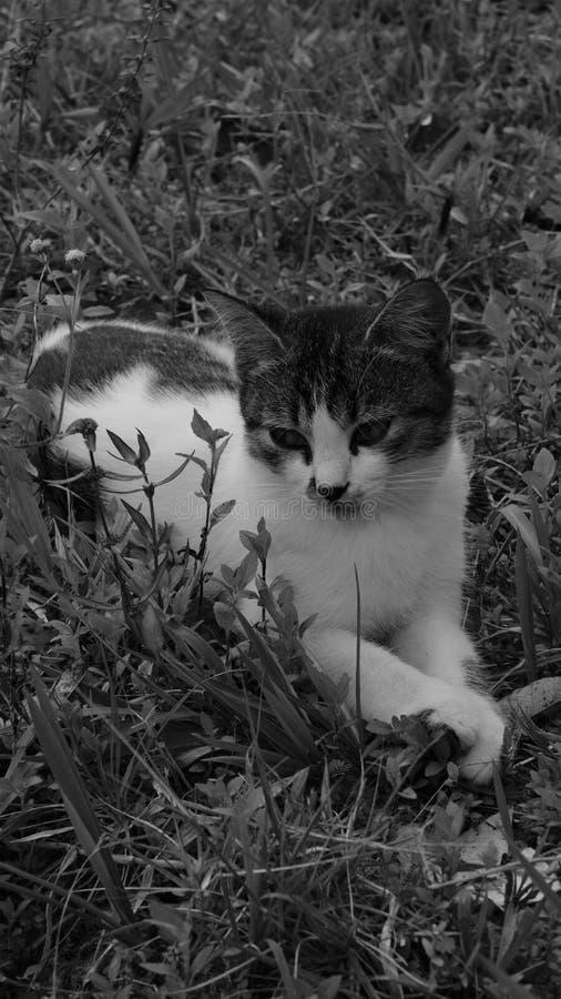 Le chat thaïlandais est beau photo stock
