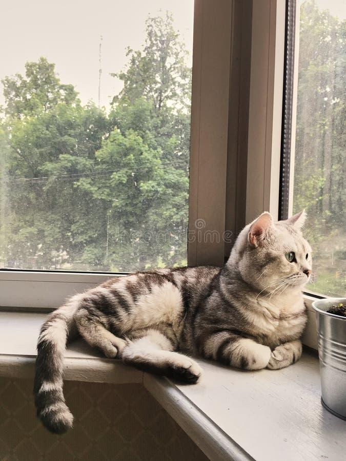 Le chat tigré britannique se trouve et regarde la fenêtre confort chaud et simple chat gris, blanc, tigré et yeux verts image stock