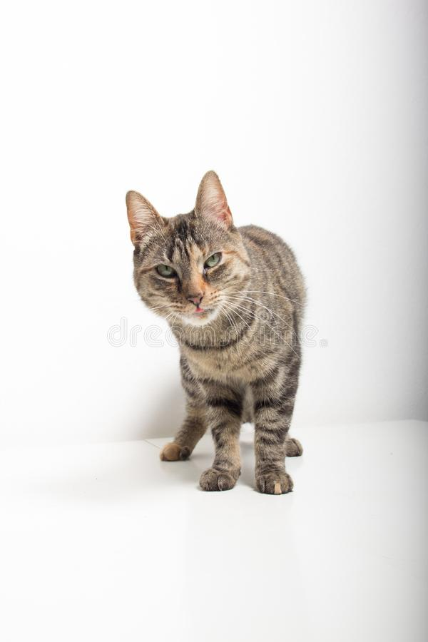 Le chat tigr? gris regarde dans la cam?ra photo libre de droits