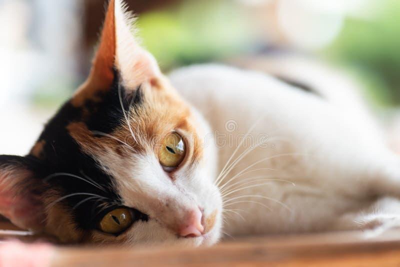 Le chat tricolore fixent sur le tapis photos libres de droits