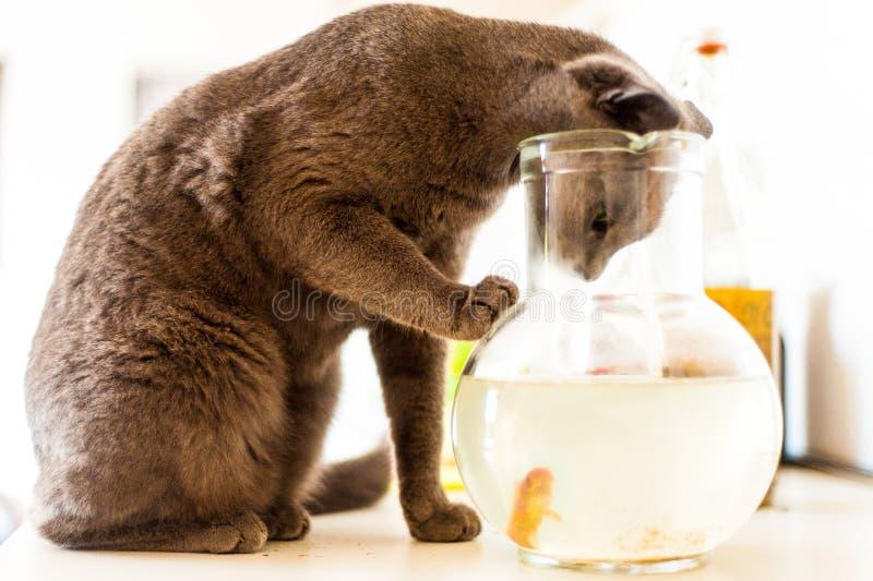 Le chat velu regardant dans les poissons rouges roulent dans la maison avec la lumière du jour photos stock