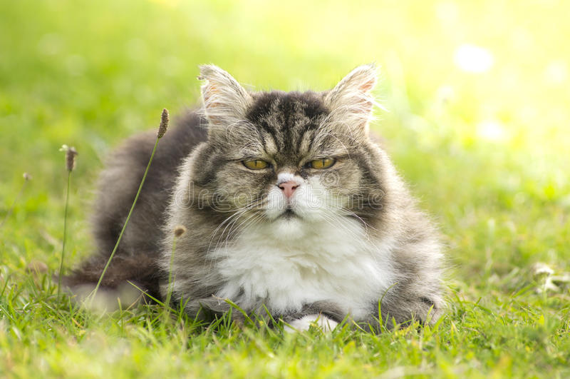 Le chat velu se repose dans l'herbe verte photographie stock