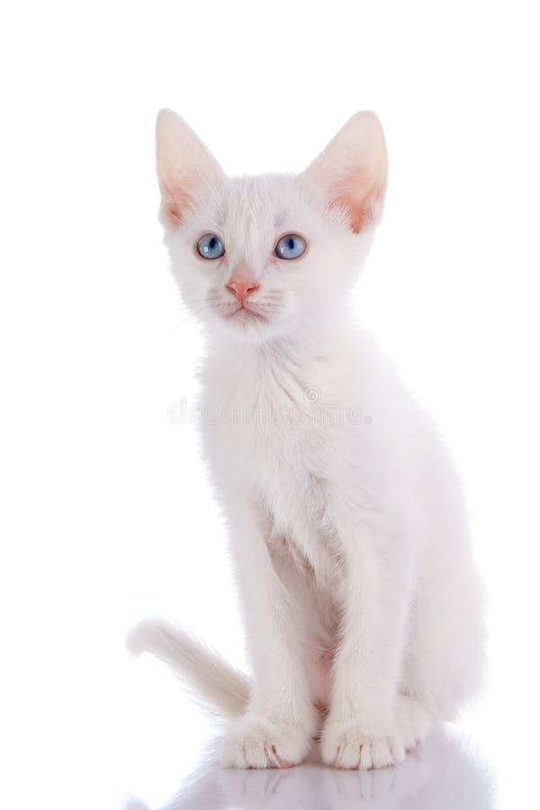 Le chaton blanc avec des yeux bleus se repose sur un fond blanc photo stock image 32464368 - Enlever les puces sur un chaton ...