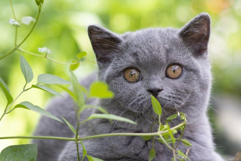 Le chaton britannique de shorthair s'est caché dans l'herbe et renifle un brin, bleu de couleur image libre de droits