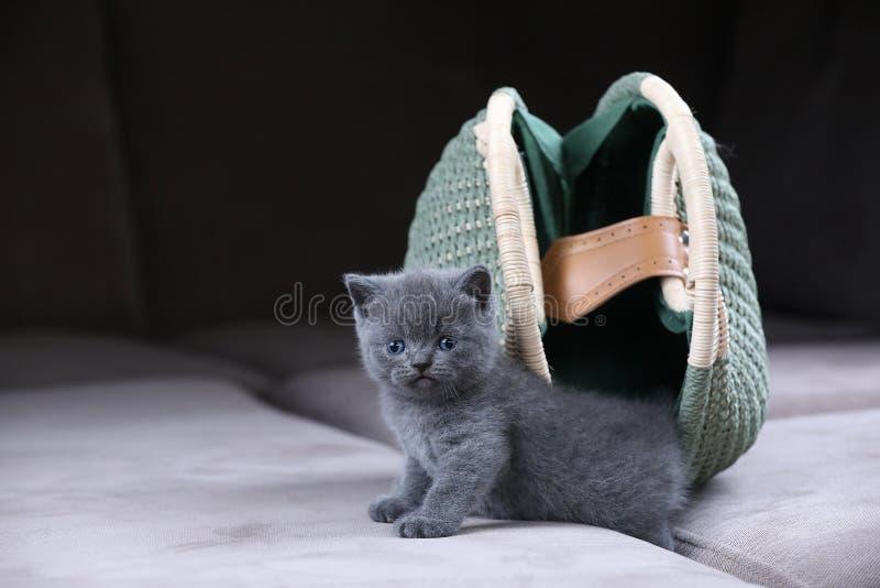 Le chaton britannique de Shorthair se cachant dans des femmes pincent, mettent en sac photos libres de droits